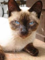 Leon, chat Siamois