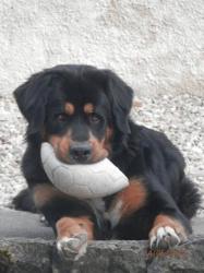 Leon, chien Bouvier bernois