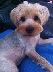 Léon, chien Yorkshire Terrier