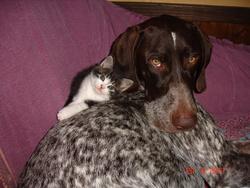 Léon, chien Braque allemand à poil court