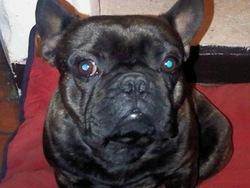 Leon, chien Bouledogue français