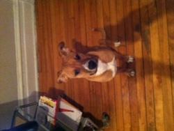 Leon, chien American Staffordshire Terrier