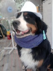 Léon, chien Bouvier bernois
