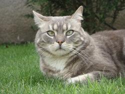 Léon, chat Européen