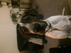 Léon, chien Dogue allemand