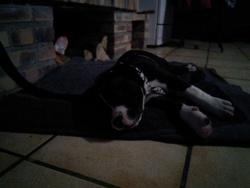 Léon, chien American Staffordshire Terrier
