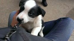 Léon, chien Border Collie
