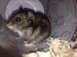 Léon, rongeur Hamster