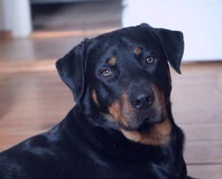 Leon Basile, chien Rottweiler