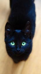 Léona, chat Européen