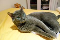 Léonard, chat Bleu russe