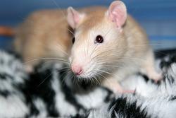 Inc Léonard, rongeur Rat