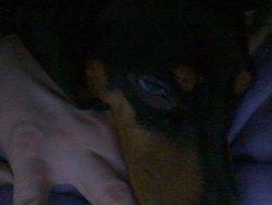 Léonard, chien Teckel