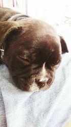 Leone La Déjantée, chien Bouledogue français