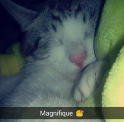 Leonidas, chat Siamois