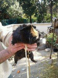 Léonie, rongeur Cochon d'Inde