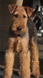 Léonie, chien Airedale Terrier