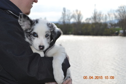 Leroy, chien Border Collie