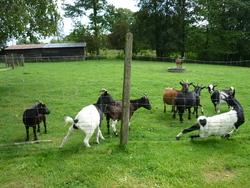 Les 9 Chèvres, autres