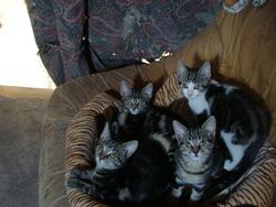 Les 5 Bébés De Tichat, chat Européen