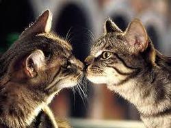 Les Amoureux, chat