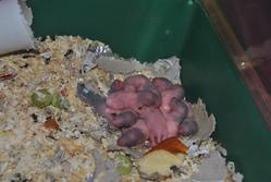 Les Bebe, rongeur Rat