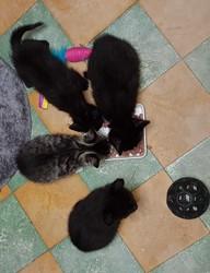 Les Bebe, chat Européen