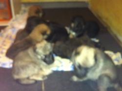 Les Bébés Chiots , chien Berger allemand