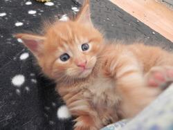 Les Bébés De Peluche, chat Maine Coon