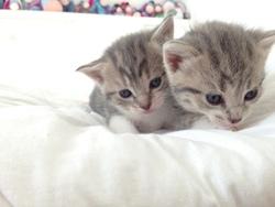 Les Chatons, chat Européen