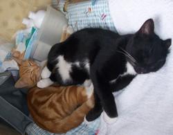 Les Chats - Disparus , chat Gouttière