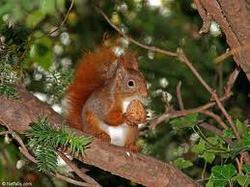 Les Écureuils, rongeur Ecureuil