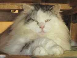 Lesky, chat Maine Coon
