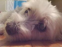 Leslie, chien Bichon maltais