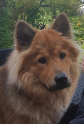Letty, chien Eurasier