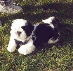Leucky, chien Shih Tzu