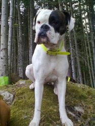 Lévis, chien Boxer