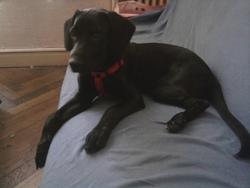 Levy, chien