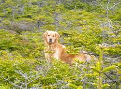 Lévy, chien Golden Retriever