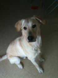 Levy, chien Labrador Retriever