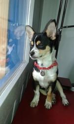 Lewis, chien Chihuahua