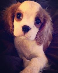 Lewis, chien Cavalier King Charles Spaniel