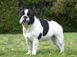 Lewis, chien Bouledogue français