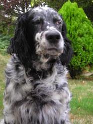 Lewis , chien Setter anglais