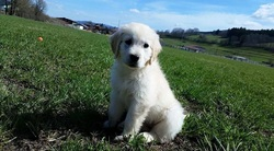 Lexane, chien Golden Retriever