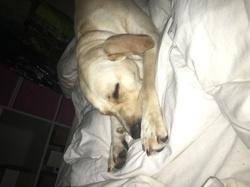 Lexi, chien Labrador Retriever