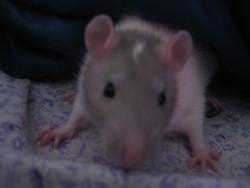 Lexi, rongeur Rat