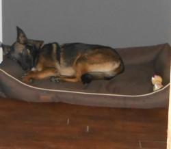 Lexie, chien Berger belge