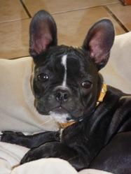 Lexie, chien Bouledogue français