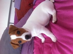 Lexie, chien Jack Russell Terrier